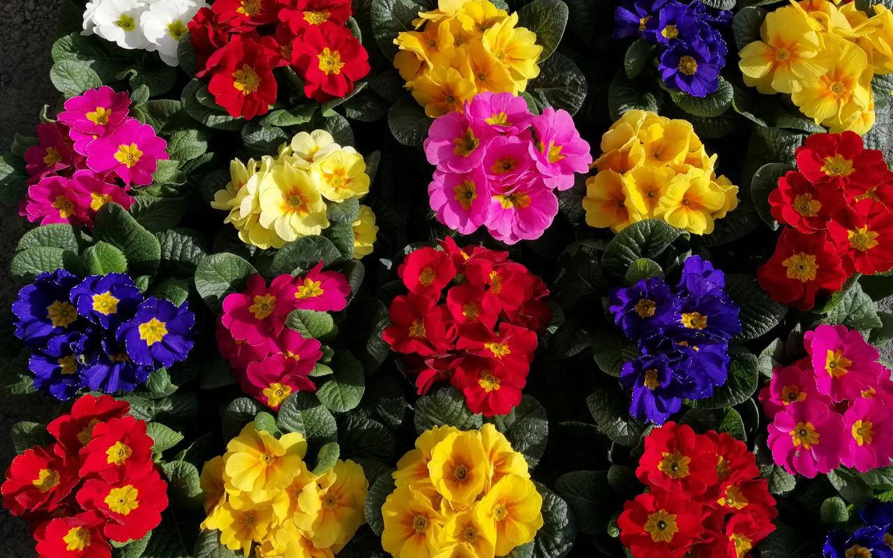 Blumen Iberer